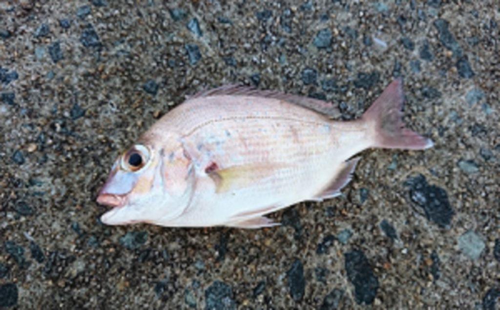福岡の釣りアジングサビキでチャリコも釣れる!8月下旬の姪浜漁港