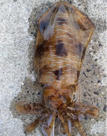 見えるアオリイカが釣れる佐賀県唐津市呼子港!イカで有名な呼子でエギング!
