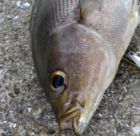 長崎伊王島大潮でブリは釣れずにメタルジグでイサキをヒット!