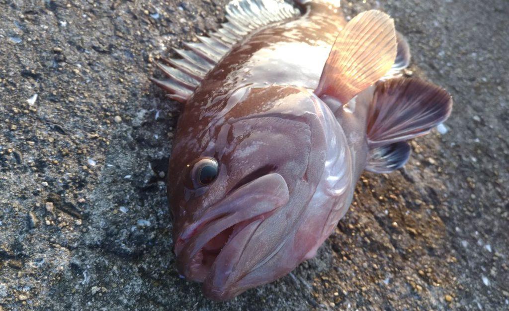 平戸市曲港で釣り!マハタや真鯛がメタルジグで釣れる!マズメ狙い!