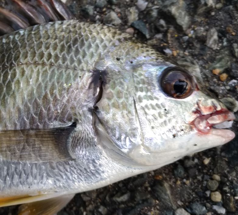 福岡の8月!台風や大雨後の釣り姪浜漁港!アジングでキビレが釣れる!