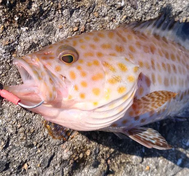 長崎平戸の秋の大潮で釣果が悪いのでライトショアジギング!釣れない時もある!